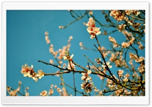 Peach Flowers, Spring HD Wide Wallpaper for Widescreen