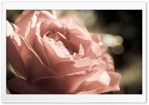 Peach Rose HD Wide Wallpaper for Widescreen