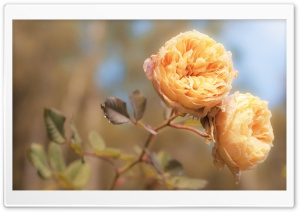 Peach Roses HD Wide Wallpaper for Widescreen