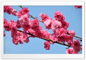 Peach Tree In Bloom, Tokyo HD Wide Wallpaper for Widescreen