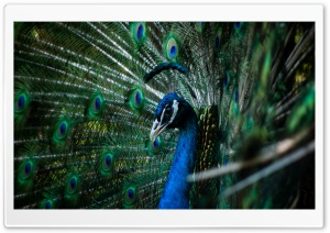 Peacock HD Wide Wallpaper for 4K UHD Widescreen desktop & smartphone