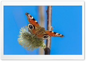 Peacock Butterfly Tagpfauenauge HD Wide Wallpaper for Widescreen