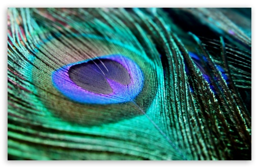 Peacock Feather ❤ 4K UHD Wallpaper for Wide 16:10 5:3 Widescreen WHXGA WQXGA WUXGA WXGA WGA ; 4K UHD 16:9 Ultra High Definition 2160p 1440p 1080p 900p 720p ; Standard 4:3 5:4 3:2 Fullscreen UXGA XGA SVGA QSXGA SXGA DVGA HVGA HQVGA ( Apple PowerBook G4 iPhone 4 3G 3GS iPod Touch ) ; Tablet 1:1 ; iPad 1/2/Mini ; Mobile 4:3 5:3 3:2 16:9 5:4 - UXGA XGA SVGA WGA DVGA HVGA HQVGA ( Apple PowerBook G4 iPhone 4 3G 3GS iPod Touch ) 2160p 1440p 1080p 900p 720p QSXGA SXGA ;