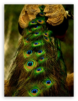 Download Peacock Feathers HD Wallpaper