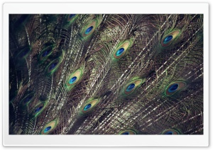 Peacock Wings HD Wide Wallpaper for Widescreen