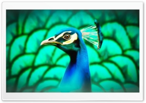 Peafowl Painting HD Wide Wallpaper for Widescreen