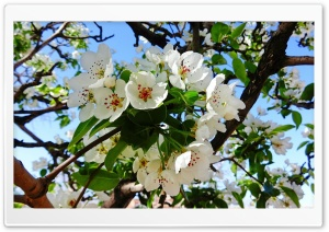 Pear Blossom Ultra HD Wallpaper for 4K UHD Widescreen desktop, tablet & smartphone