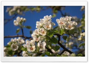 Pear Blossom HD Wide Wallpaper for Widescreen