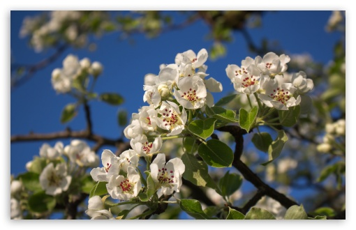 Pear Blossom ❤ 4K UHD Wallpaper for Wide 16:10 5:3 Widescreen WHXGA WQXGA WUXGA WXGA WGA ; 4K UHD 16:9 Ultra High Definition 2160p 1440p 1080p 900p 720p ; UHD 16:9 2160p 1440p 1080p 900p 720p ; Standard 4:3 5:4 3:2 Fullscreen UXGA XGA SVGA QSXGA SXGA DVGA HVGA HQVGA ( Apple PowerBook G4 iPhone 4 3G 3GS iPod Touch ) ; Smartphone 5:3 WGA ; Tablet 1:1 ; iPad 1/2/Mini ; Mobile 4:3 5:3 3:2 16:9 5:4 - UXGA XGA SVGA WGA DVGA HVGA HQVGA ( Apple PowerBook G4 iPhone 4 3G 3GS iPod Touch ) 2160p 1440p 1080p 900p 720p QSXGA SXGA ;