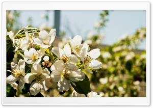 Pear Flowers HD Wide Wallpaper for Widescreen
