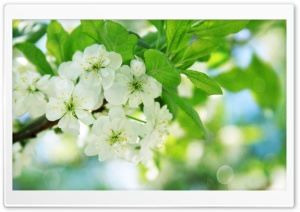Pear Tree Flowers HD Wide Wallpaper for Widescreen