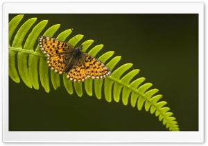 Pearl Bordered Fritillary HD Wide Wallpaper for Widescreen