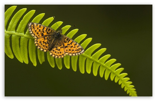 Pearl Bordered Fritillary HD wallpaper for Wide 16:10 5:3 Widescreen WHXGA WQXGA WUXGA WXGA WGA ; HD 16:9 High Definition WQHD QWXGA 1080p 900p 720p QHD nHD ; Standard 4:3 5:4 3:2 Fullscreen UXGA XGA SVGA QSXGA SXGA DVGA HVGA HQVGA devices ( Apple PowerBook G4 iPhone 4 3G 3GS iPod Touch ) ; iPad 1/2/Mini ; Mobile 4:3 5:3 3:2 16:9 5:4 - UXGA XGA SVGA WGA DVGA HVGA HQVGA devices ( Apple PowerBook G4 iPhone 4 3G 3GS iPod Touch ) WQHD QWXGA 1080p 900p 720p QHD nHD QSXGA SXGA ;