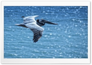 Pelican HD Wide Wallpaper for 4K UHD Widescreen desktop & smartphone