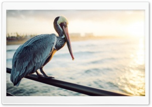 Pelican Bird, Ocean Ultra HD Wallpaper for 4K UHD Widescreen desktop, tablet & smartphone