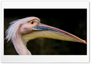 Pelican Long Beak Bird HD Wide Wallpaper for 4K UHD Widescreen desktop & smartphone