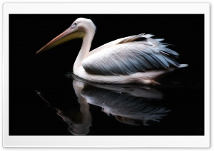 Pelican Water Bird HD Wide Wallpaper for 4K UHD Widescreen desktop & smartphone
