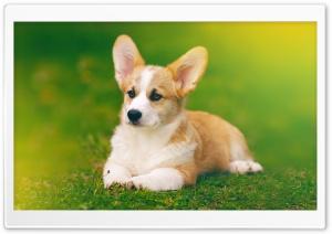 Pembroke Welsh Corgi Dog Ultra HD Wallpaper for 4K UHD Widescreen desktop, tablet & smartphone