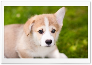 Pembroke Welsh Corgi Puppy One Ear Down HD Wide Wallpaper for 4K UHD Widescreen desktop & smartphone