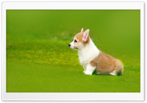 Pembroke Welsh Corgi Puppy Playful HD Wide Wallpaper for 4K UHD Widescreen desktop & smartphone