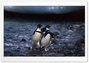 Penguins HD Wide Wallpaper for Widescreen