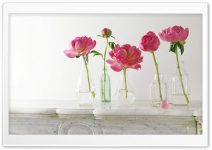 Peonies HD Wide Wallpaper for Widescreen