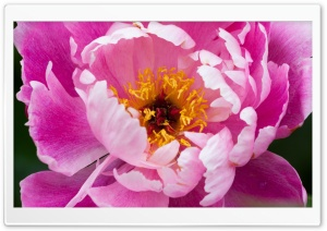Peony HD Wide Wallpaper for Widescreen