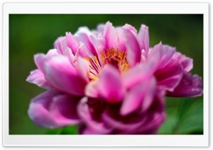 Peony Flower HD Wide Wallpaper for Widescreen