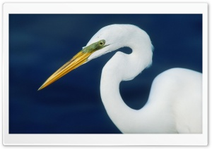 Perfect Form Egret HD Wide Wallpaper for Widescreen