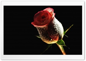 Perfect Red Rose HD Wide Wallpaper for Widescreen