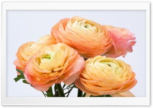 Persian Buttercup HD Wide Wallpaper for Widescreen