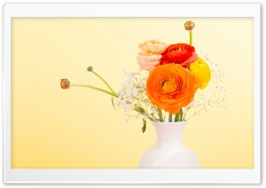 Persian Buttercup - Ranunculus Asiaticus HD Wide Wallpaper for 4K UHD Widescreen desktop & smartphone