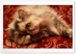 Persian Cat HD Wide Wallpaper for Widescreen