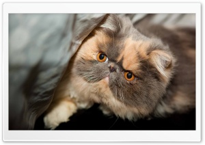 Persian Cat Face HD Wide Wallpaper for Widescreen