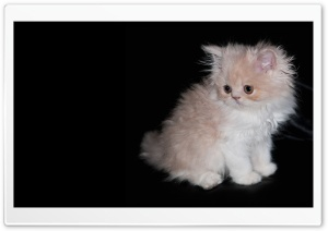 Persian Kitten HD Wide Wallpaper for Widescreen
