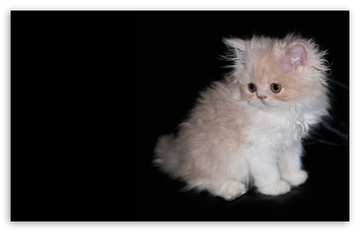 Persian Kitten HD wallpaper for Wide 16:10 5:3 Widescreen WHXGA WQXGA WUXGA WXGA WGA ; HD 16:9 High Definition WQHD QWXGA 1080p 900p 720p QHD nHD ; Standard 4:3 5:4 3:2 Fullscreen UXGA XGA SVGA QSXGA SXGA DVGA HVGA HQVGA devices ( Apple PowerBook G4 iPhone 4 3G 3GS iPod Touch ) ; Tablet 1:1 ; iPad 1/2/Mini ; Mobile 4:3 5:3 3:2 16:9 5:4 - UXGA XGA SVGA WGA DVGA HVGA HQVGA devices ( Apple PowerBook G4 iPhone 4 3G 3GS iPod Touch ) WQHD QWXGA 1080p 900p 720p QHD nHD QSXGA SXGA ;