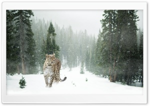 Persian Leopard, Winter HD Wide Wallpaper for Widescreen