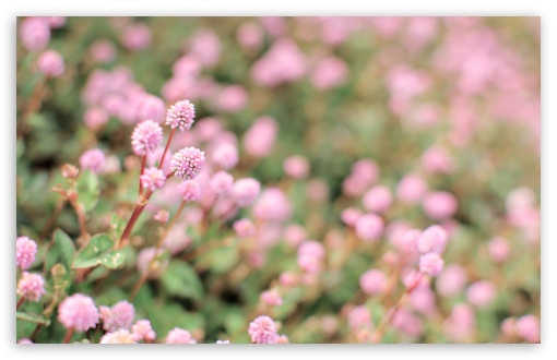 Persicaria Capitata ❤ 4K UHD Wallpaper for Wide 16:10 5:3 Widescreen WHXGA WQXGA WUXGA WXGA WGA ; 4K UHD 16:9 Ultra High Definition 2160p 1440p 1080p 900p 720p ; UHD 16:9 2160p 1440p 1080p 900p 720p ; Standard 4:3 5:4 3:2 Fullscreen UXGA XGA SVGA QSXGA SXGA DVGA HVGA HQVGA ( Apple PowerBook G4 iPhone 4 3G 3GS iPod Touch ) ; Tablet 1:1 ; iPad 1/2/Mini ; Mobile 4:3 5:3 3:2 16:9 5:4 - UXGA XGA SVGA WGA DVGA HVGA HQVGA ( Apple PowerBook G4 iPhone 4 3G 3GS iPod Touch ) 2160p 1440p 1080p 900p 720p QSXGA SXGA ; Dual 16:10 5:3 16:9 4:3 5:4 WHXGA WQXGA WUXGA WXGA WGA 2160p 1440p 1080p 900p 720p UXGA XGA SVGA QSXGA SXGA ;