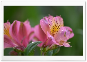 Peruvian Lily Flower Ultra HD Wallpaper for 4K UHD Widescreen desktop, tablet & smartphone