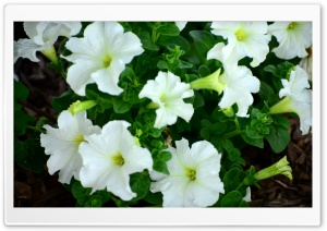 Petunias HD Wide Wallpaper for Widescreen
