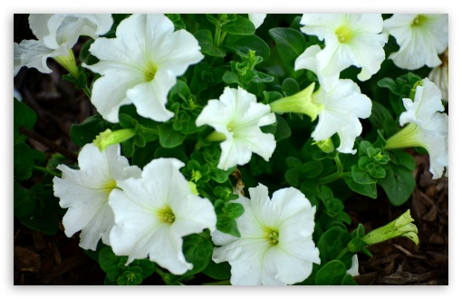 Petunias ❤ 4K UHD Wallpaper for Wide 16:10 5:3 Widescreen WHXGA WQXGA WUXGA WXGA WGA ; 4K UHD 16:9 Ultra High Definition 2160p 1440p 1080p 900p 720p ; UHD 16:9 2160p 1440p 1080p 900p 720p ; Standard 4:3 5:4 3:2 Fullscreen UXGA XGA SVGA QSXGA SXGA DVGA HVGA HQVGA ( Apple PowerBook G4 iPhone 4 3G 3GS iPod Touch ) ; Smartphone 5:3 WGA ; Tablet 1:1 ; iPad 1/2/Mini ; Mobile 4:3 5:3 3:2 16:9 5:4 - UXGA XGA SVGA WGA DVGA HVGA HQVGA ( Apple PowerBook G4 iPhone 4 3G 3GS iPod Touch ) 2160p 1440p 1080p 900p 720p QSXGA SXGA ; Dual 16:10 5:3 16:9 4:3 5:4 WHXGA WQXGA WUXGA WXGA WGA 2160p 1440p 1080p 900p 720p UXGA XGA SVGA QSXGA SXGA ;