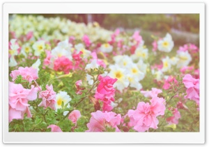Petunias Field HD Wide Wallpaper for Widescreen
