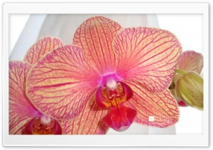 Phalaenopsis Orchid HD Wide Wallpaper for Widescreen