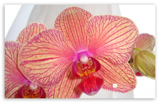 Phalaenopsis Orchid ❤ 4K UHD Wallpaper for Wide 16:10 Widescreen WHXGA WQXGA WUXGA WXGA ; Standard 4:3 5:4 3:2 Fullscreen UXGA XGA SVGA QSXGA SXGA DVGA HVGA HQVGA ( Apple PowerBook G4 iPhone 4 3G 3GS iPod Touch ) ; Tablet 1:1 ; iPad 1/2/Mini ; Mobile 4:3 3:2 16:9 5:4 - UXGA XGA SVGA DVGA HVGA HQVGA ( Apple PowerBook G4 iPhone 4 3G 3GS iPod Touch ) 2160p 1440p 1080p 900p 720p QSXGA SXGA ;