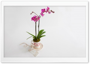 Phalaenopsis Orchid Gift HD Wide Wallpaper for Widescreen