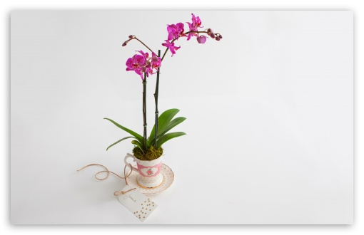 Phalaenopsis Orchid Gift ❤ 4K UHD Wallpaper for Wide 16:10 5:3 Widescreen WHXGA WQXGA WUXGA WXGA WGA ; 4K UHD 16:9 Ultra High Definition 2160p 1440p 1080p 900p 720p ; UHD 16:9 2160p 1440p 1080p 900p 720p ; Standard 4:3 5:4 3:2 Fullscreen UXGA XGA SVGA QSXGA SXGA DVGA HVGA HQVGA ( Apple PowerBook G4 iPhone 4 3G 3GS iPod Touch ) ; Smartphone 3:2 5:3 DVGA HVGA HQVGA ( Apple PowerBook G4 iPhone 4 3G 3GS iPod Touch ) WGA ; Tablet 1:1 ; iPad 1/2/Mini ; Mobile 4:3 5:3 3:2 16:9 5:4 - UXGA XGA SVGA WGA DVGA HVGA HQVGA ( Apple PowerBook G4 iPhone 4 3G 3GS iPod Touch ) 2160p 1440p 1080p 900p 720p QSXGA SXGA ;