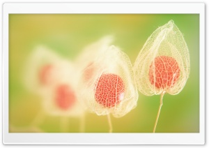 Physalis Fruits HD Wide Wallpaper for Widescreen