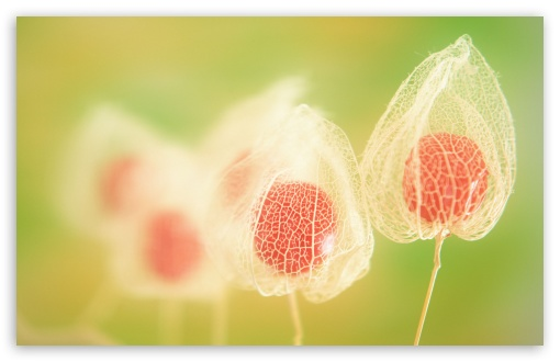 Physalis Fruits HD wallpaper for Wide 16:10 5:3 Widescreen WHXGA WQXGA WUXGA WXGA WGA ; HD 16:9 High Definition WQHD QWXGA 1080p 900p 720p QHD nHD ; Standard 4:3 5:4 3:2 Fullscreen UXGA XGA SVGA QSXGA SXGA DVGA HVGA HQVGA devices ( Apple PowerBook G4 iPhone 4 3G 3GS iPod Touch ) ; Tablet 1:1 ; iPad 1/2/Mini ; Mobile 4:3 5:3 3:2 16:9 5:4 - UXGA XGA SVGA WGA DVGA HVGA HQVGA devices ( Apple PowerBook G4 iPhone 4 3G 3GS iPod Touch ) WQHD QWXGA 1080p 900p 720p QHD nHD QSXGA SXGA ; Dual 16:10 4:3 5:4 WHXGA WQXGA WUXGA WXGA UXGA XGA SVGA QSXGA SXGA ;