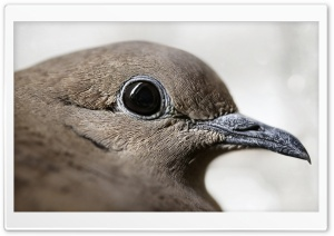Picui Ground Dove Bird Ultra HD Wallpaper for 4K UHD Widescreen desktop, tablet & smartphone