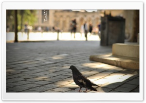 Pigeon HD Wide Wallpaper for 4K UHD Widescreen desktop & smartphone